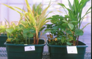 Sulfur Deficiency in corn. Source: http://www.ces.ncsu.edu/plymouth/cropsci/docs/sulfur.html